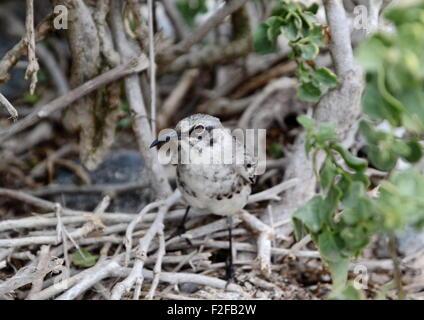 Galapagos Mockingbird - Stock Photo