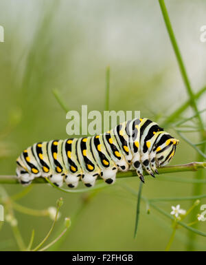 Black Swallowtail caterpillar feeding on a plant from the carrot family, Apiaceae
