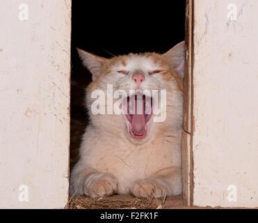 White and ginger tom cat yawning between barn doors - Stock Photo