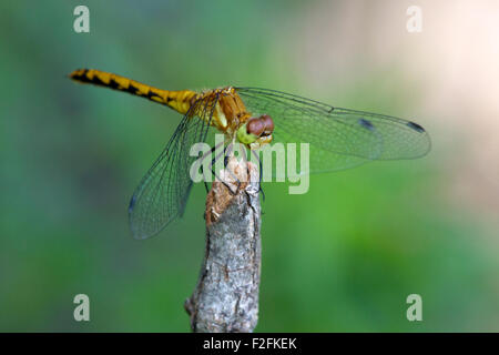 Female Ruby Meadowhawk  (Sympetrum rubicundulum) Stock Photo
