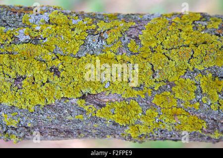 Lichen on a tree branch - Stock Photo