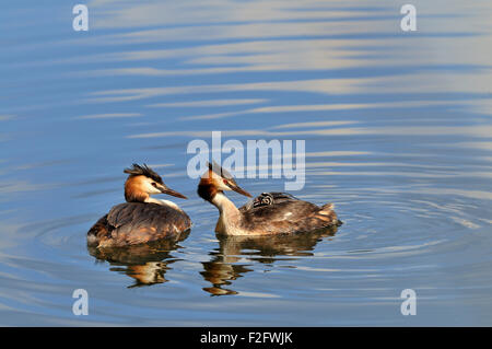 Great crested grebe (Podiceps cristatus), adult feeding chick with a feather, North Rhine-Westphalia, Germany - Stock Photo