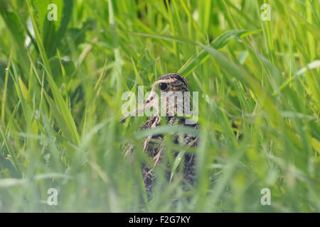Great Snipe hides in meadow grasses - Stock Photo