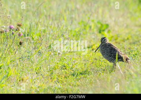 Great Snipe in meadow grasses early morning - Stock Photo