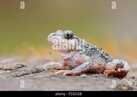 Portrait of a Common midwife toad / Geburtshelferkroete ( Alytes obstetricans ) sitting  on rocks of an old quarry. - Stock Photo