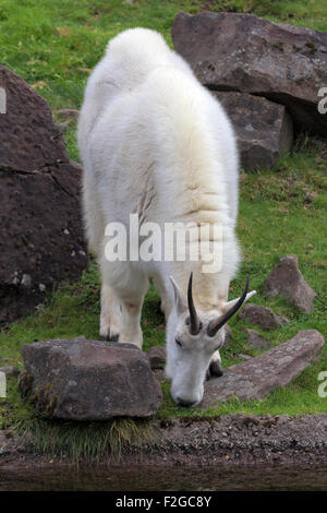 ROcky Mountain Goat Grazing by the Stream - Stock Photo