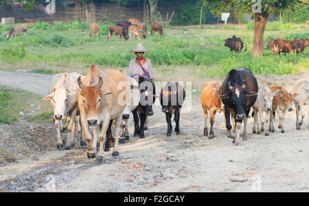 Farmer and his cattle at sunset at Mrauk U in the Rakhine State of Myanmar. - Stock Photo