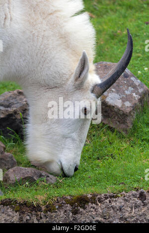 ROcky Mountain Goat Grazing by the Stream Closeup Portrait - Stock Photo