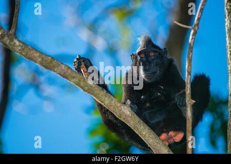 a juvenile male black crested macaque from North Sulawesi take a rest up on top of a tree in the forest of Tangkoko - Stock Photo