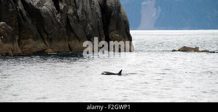 A killer whale surfaces in the Pacific Ocean off the coast of Alaska - Stock Photo