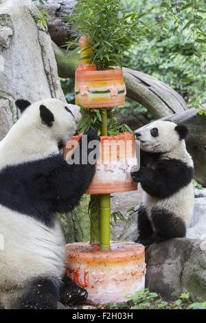 Giant panda cub Xiaoliwu (R) and its mother Bai Yun enjoy the birthday cake during his first birthday celebration - Stock Photo