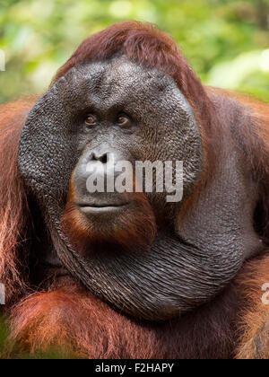 Dominant male Orangutan in Borneo - Stock Photo