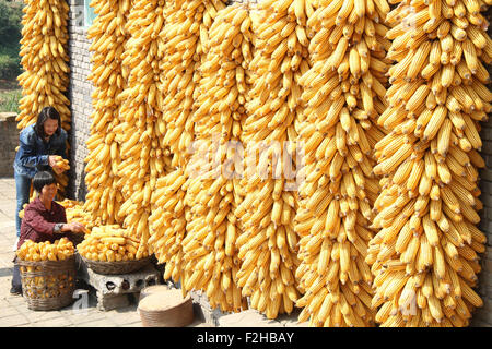 (150919) -- JINCHENG, Sept. 19, 2015 (Xinhua) -- Farmers dry corn cobs in Dongjin Village of Yangcheng County in - Stock Photo