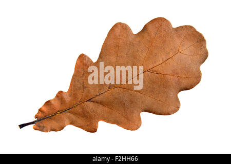 Single oak leaf, sharp and clean, large size - Stock Photo