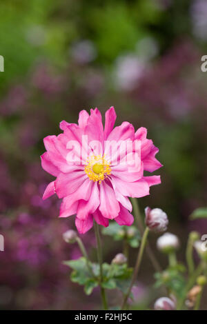 Anemone hupehensis var. japonica 'Pamina' flower. - Stock Photo