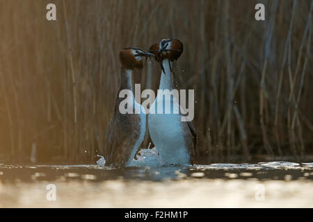 Great Crested Grebe / Grebes /  Great cresties / Haubentaucher ( Podiceps cristatus ) doing the penguin dance. - Stock Photo