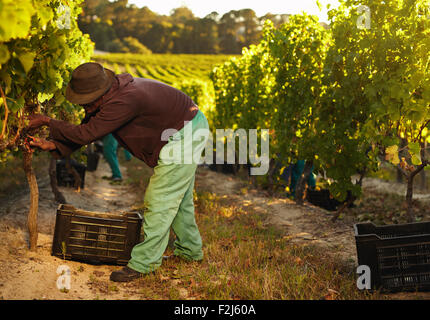 African farmer harvesting grapes in vineyard. Man pruning grapes from vine and collecting in plastic bins. - Stock Photo