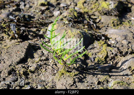Samphire growing in salt marsh at Pointe de Pen Bron, Guerande, Loire-Atlantique, France - Stock Photo