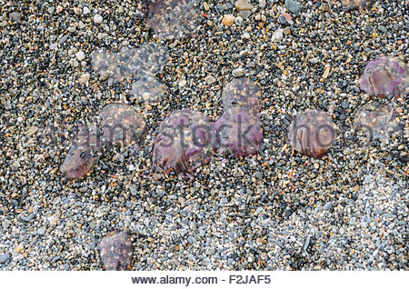 Dead jellyfishes in a mediterranean sea beach - Stock Photo