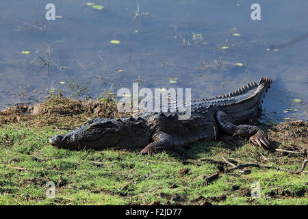 Mugger Crocodile (Crocodylus Palustris, aka Mugger, March Crocodile) Lying on the Lakeside. Ranthambhore, Rajasthan, - Stock Photo