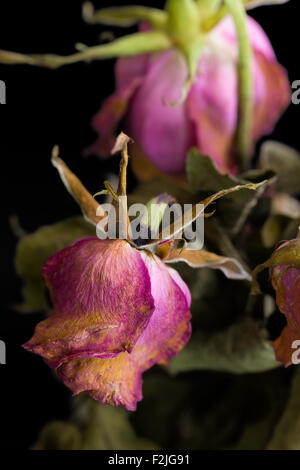Withered and dried rose flower illustrating sadness concept. - Stock Photo
