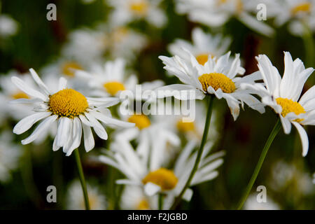 A group of daisies taken close-up at eye level - Stock Photo