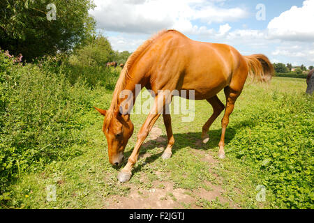 Strawberry roan horse, head bowed, eating grass in paddock - Stock Photo