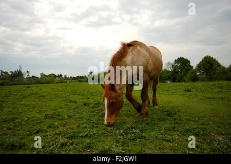 Brown, horse, head bowed, eating grass in a field taken front on from low down against cloudy sky - Stock Photo