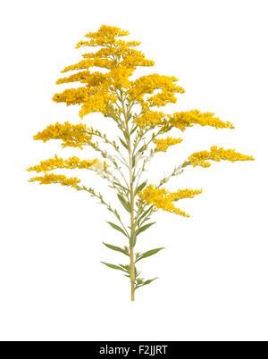 Golden Rod Solidago virgaurea flower isolated on white background - Stock Photo