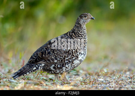 Dusky Grouse - Dendragapus obscurus - Rocky Mountain National Park, Estes Park, Colorado, USA - Stock Photo