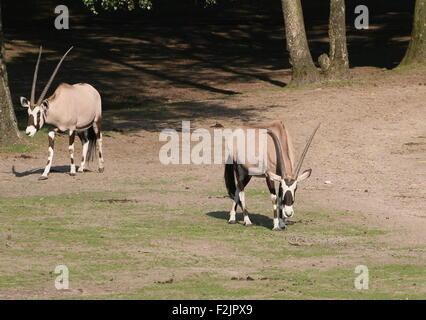 Two South African Gemsbok antelopes (Oryx gazella) - Stock Photo