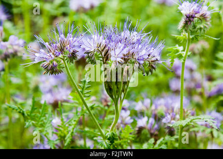 Blue phacelia nectar rich flowers ( Phacelia tanacetifolia ) - Stock Photo