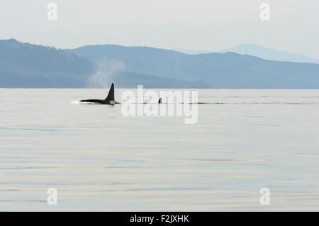 Transient or Bigg's killer whales, Orcinus orca, British Columbia, Canada, Pacific - Stock Photo