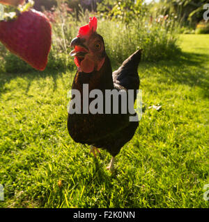 funny close up wide angle portrait of black pet chicken eating a strawberry in garden - Stock Photo