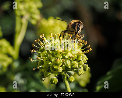 A honey bee nectaring on a plant in an English Garden - Stock Photo