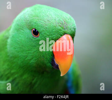 Eclectus Roratus Parrot - Stock Photo