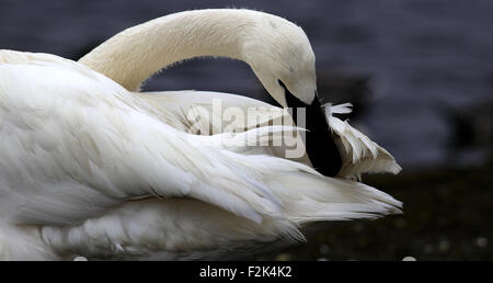 Preening Trumpeter Swan - Stock Photo