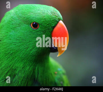 Eclectus Parrot - Stock Photo