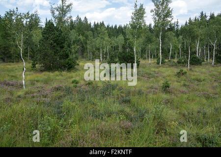 Birch trees (Betula sp.), heather (Erika) and typical vegetation in the bog, Murnau moor, Murnau, Upper Bavaria, Bavaria Stock Photo