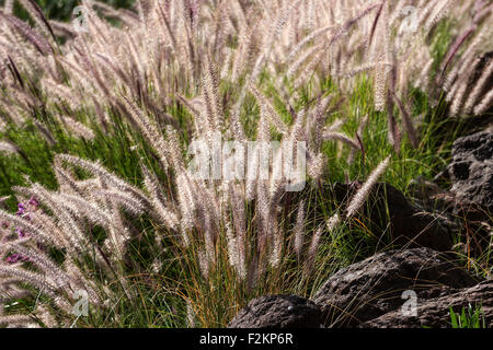Fountain grass (Pennisetum alopecuroides) flowers, backlit, Gran Canaria, Canary Islands, Spain - Stock Photo