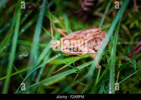 Common European Frog (Rana Temporaria) in wet grass in County Wicklow in Ireland - Stock Photo