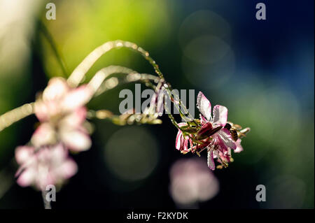 Lindheimer's Beeblossom - Stock Photo