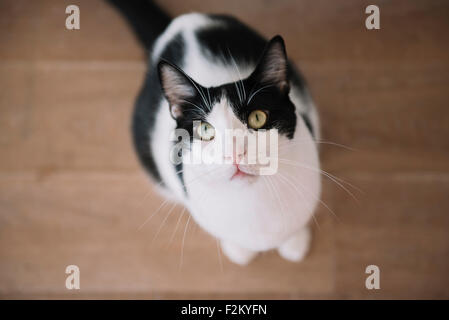Portrait of black and white cat sitting on wooden floor looking up - Stock Photo
