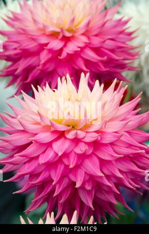 Dahlia 'Coral jupiter' flowers at a flower show. Giant Semi Cactus Dahlia - Stock Photo