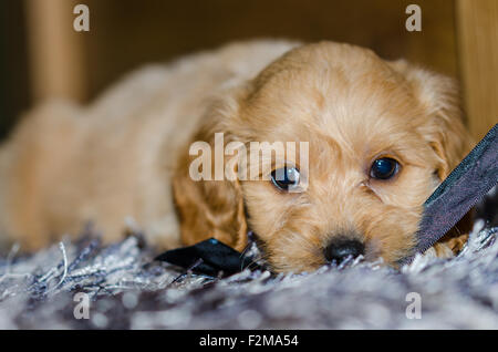 Cute puppy lying on a rug - Stock Photo