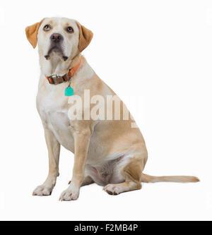 Yellow dog isolated on white - Stock Photo