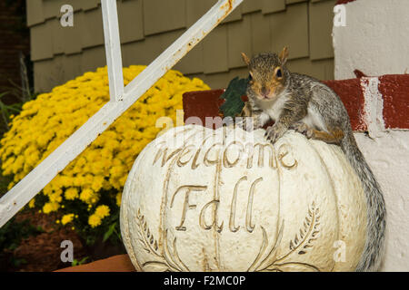 Baby Gray Squirrel Playing with a Pumpkin - Stock Photo