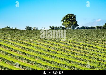 Rows of soft fruit plants create a bold pattern in a field near Faversham, Kent. - Stock Photo