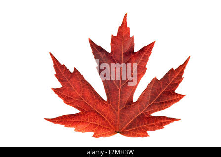 Full size rendering of beautiful Japanese maple leaf during Autumn season brightly colored on white background. - Stock Photo
