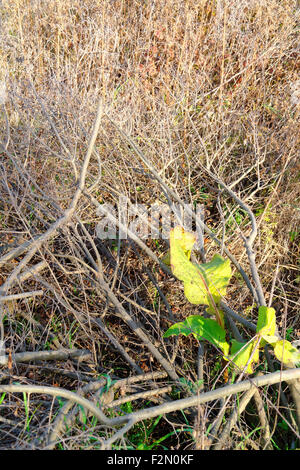 last green leafs in the dried bush - Stock Photo